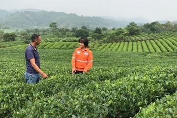 Chè VietGAP và chè hữu cơ: Hướng đi mới cho cây chè Thái Nguyên