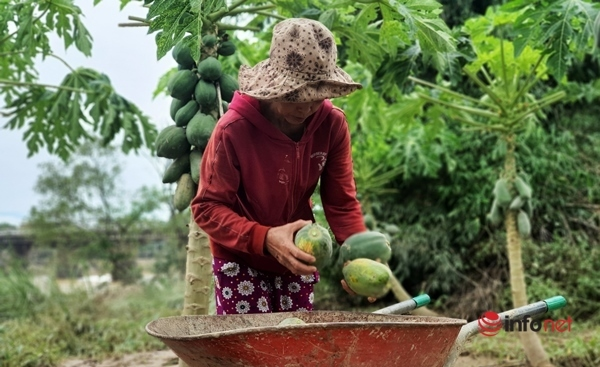 Khóc ròng trên vùng rau quả đổ rạp, thối hỏng sau mưa lũ
