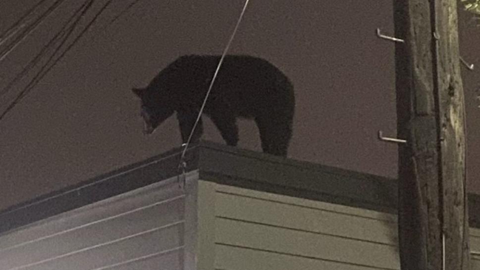 Cảnh sát Mỹ truy tìm gấu đen 136 kg lẻn vào nhà dân