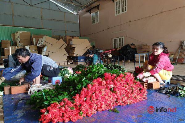 Hoa hồng ở 'thủ phủ' hoa Đà Lạt khan hiếm, giá tăng gần gấp đôi cận ngày 20/10