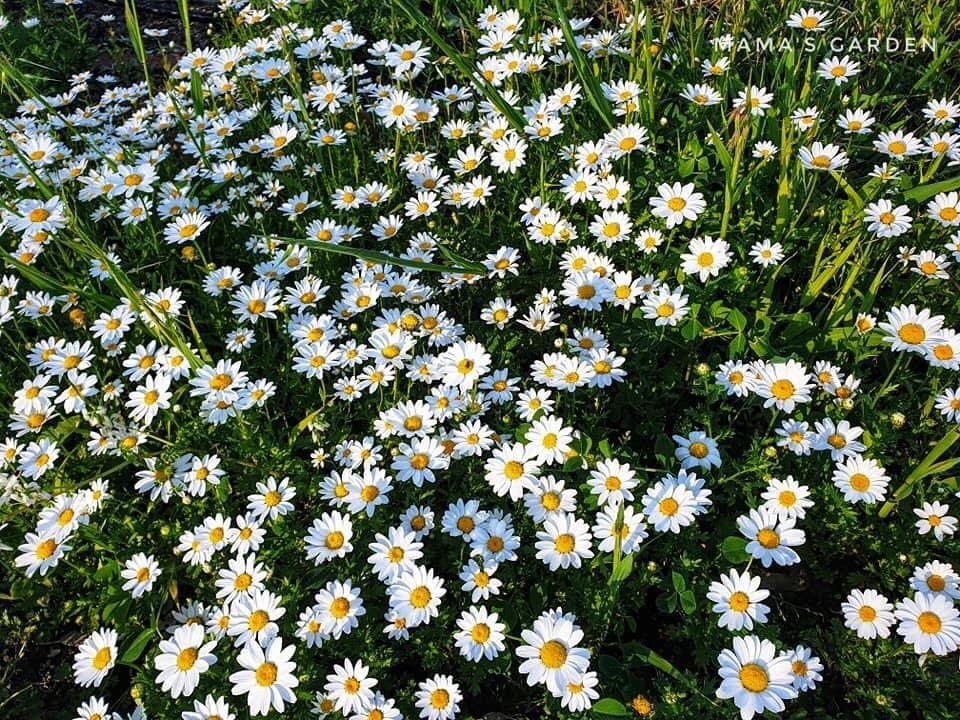 """Khu vườn rau phong phú chủng loại như """"túi Doraemon"""" của mẹ Việt tại Úc"""