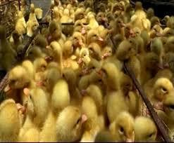 BĐBP Lạng Sơn: 2 ngày phát hiện 2 vụ vận chuyển gia cầm nhập lậu, thu giữ gần 2.000 con vịt giống