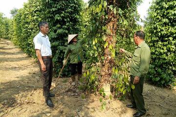 Bình Phước phát triển chuỗi cung ứng tiêu bền vững