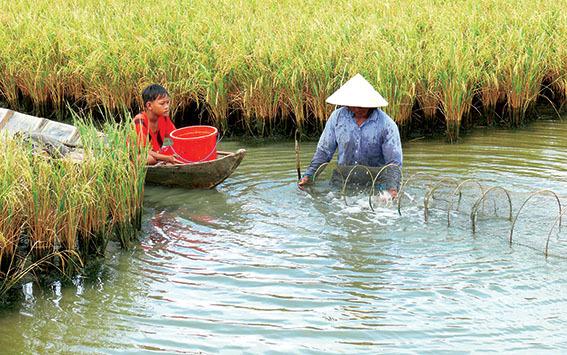 Phát triển bền vững với mô hình tôm – lúa