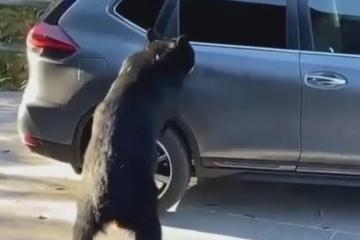Gấu thản nhiên mở cửa trèo vào bên trong xe ở Mỹ