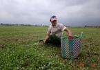 Mưa lũ nhấn chìm vựa rau má lớn nhất ở Huế, gây thiệt hại lớn
