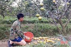 Nông dân Hà Tĩnh xót xa nhìn hàng trăm hecta cam rụng sạch quả vì mưa lũ