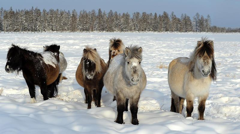 Loài ngựa huyền thoại sống ở nơi nhiệt độ âm 70 độ C