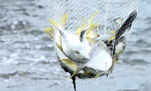 Hơn 30 năm nuôi tôm chuyển sang nuôi loài cá vây vàng, anh nông dân thu được kết quả bất ngờ