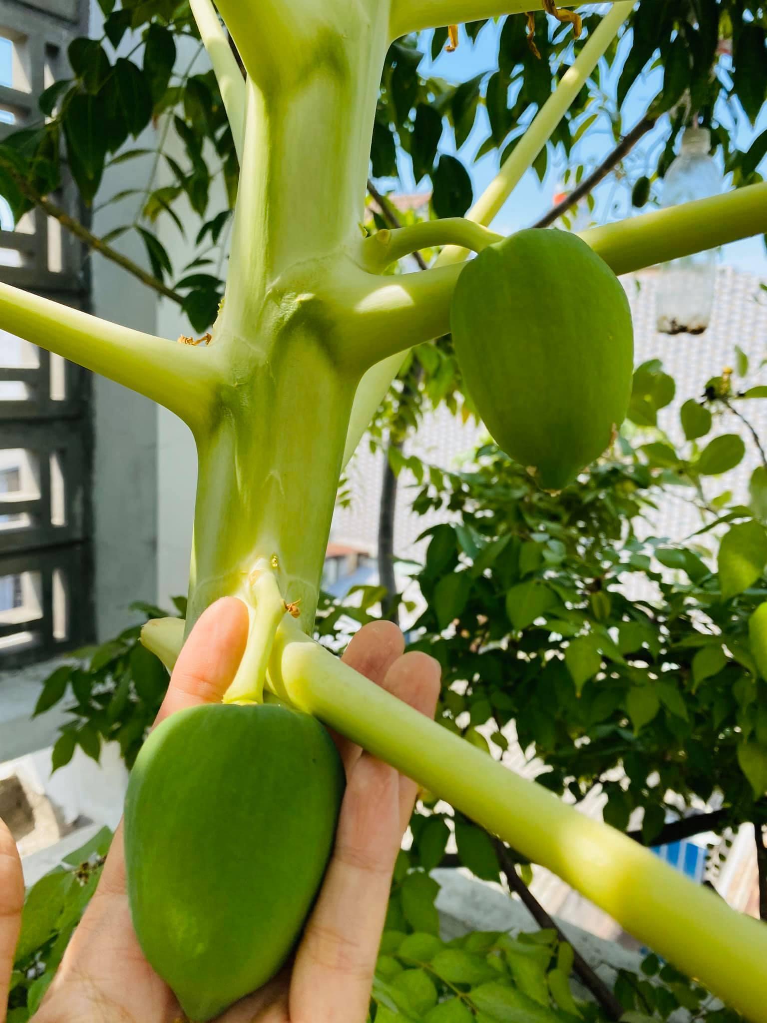Khu vườn sân thượng 20m2 xanh mướt rau quả của gia đình Sài Gòn