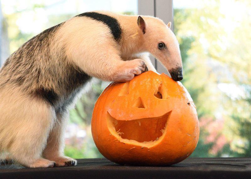 Lạ lùng xem sở thú tổ chức Halloween cho hổ, khỉ, sư tử