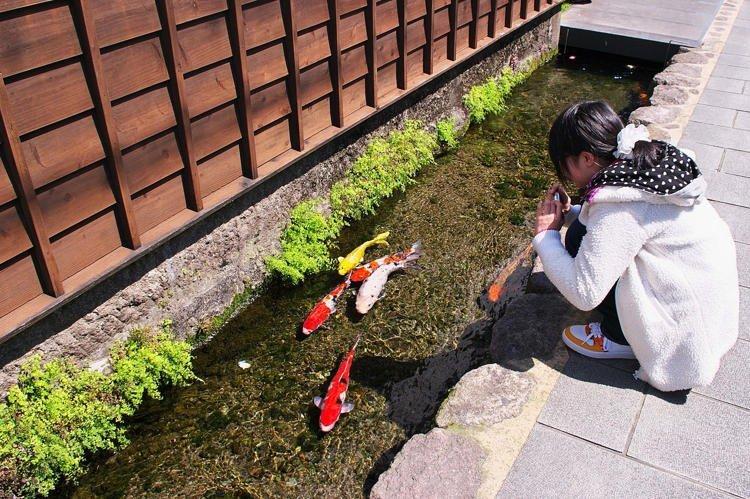 Lạ lùng thành phố nuôi cá Koi dưới đường ống nước