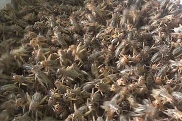 """Người thanh niên """"cùng ăn, cùng ngủ"""" với loài côn trùng này, mỗi năm thu hàng trăm triệu đồng"""
