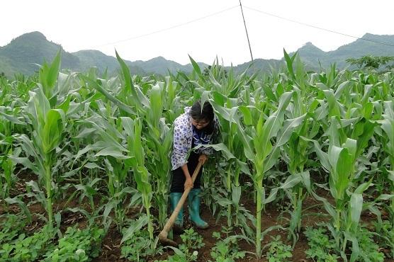 Lai Châu: Phát triển bền vững nhờ tái cơ cấu nông nghiệp