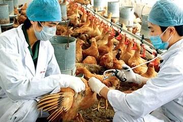 Thanh Hóa: 3.400.000 liều vắc-xin cúm gia cầm H5N1 đã được tiêm cho đàn gia cầm