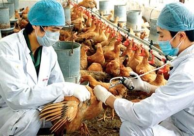 Thái Bình: Thái Thụy tăng cường phòng chống dịch bệnh cho gia cầm mùa Thu Đông