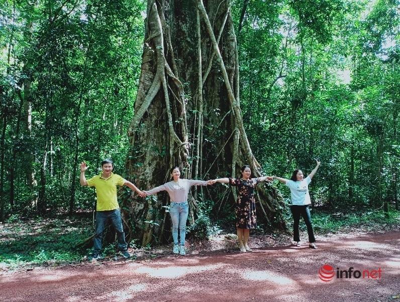 Cây kơ nia lớn nhất Việt Nam gây ấn tượng đặc biệt trong khu bảo tồn thiên nhiên Đồng Nai