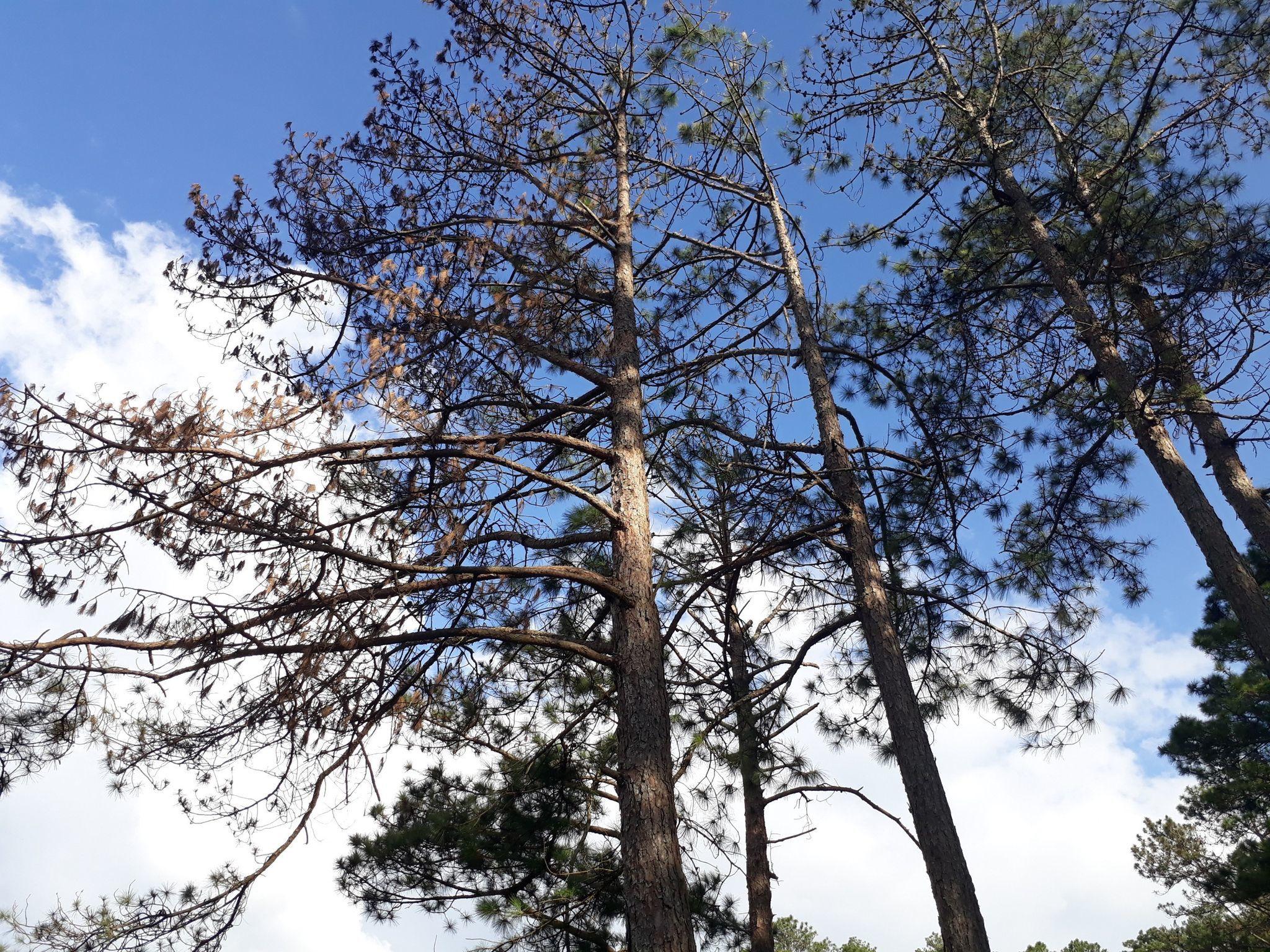 Thủ phạm đầu độc 59 cây thông khai lý do phạm pháp