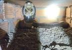 Nuôi hàng chục ngàn con rắn hổ mang, cứ bán 1 con lời 1 triệu, dân xem khiếp vía