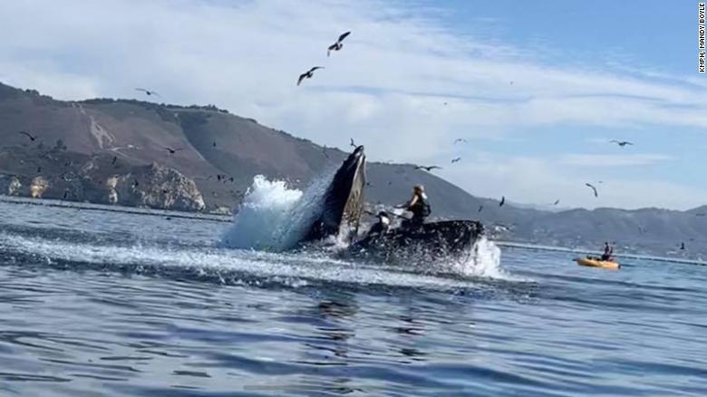 Thoát cửa tử trong gang tấc khi đối mặt cá voi lưng gù