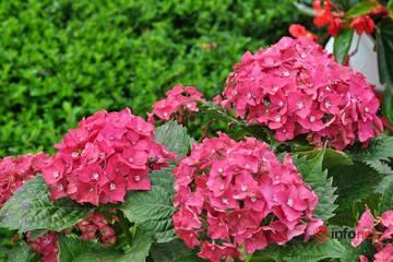 Các loại hoa có ý nghĩa phù hợp tặng thầy cô giáo ngày 20/11
