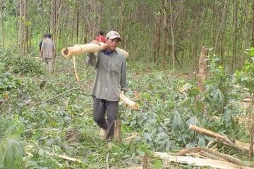 Quảng Ninh: Triển khai đề án trồng rừng cây gỗ lớn giúp người dân Ba Chẽ thoát nghèo