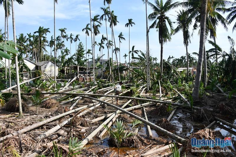 Vườn trăm triệu tan hoang sau bão, cau ngã… người 'đau'