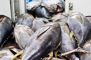 EVFTA thúc đẩy xuất khẩu cá ngừ sang Italy tăng trưởng ngoạn mục