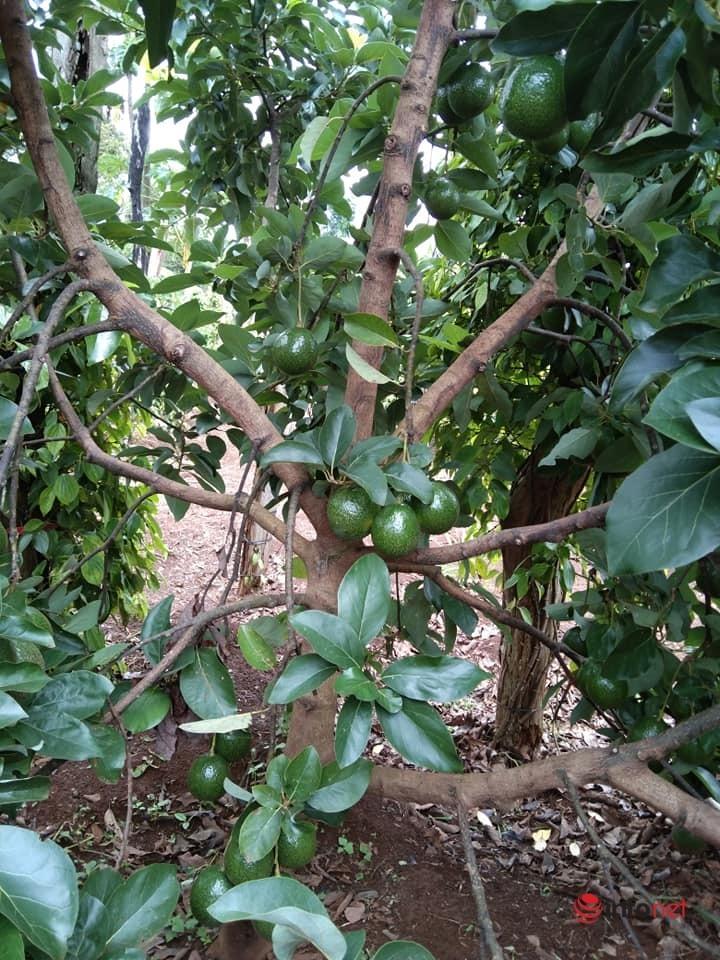 Đắk Lắk: Giảm nghèo bền vững nhờ trồng bơ xen canh với cà phê, hồ tiêu