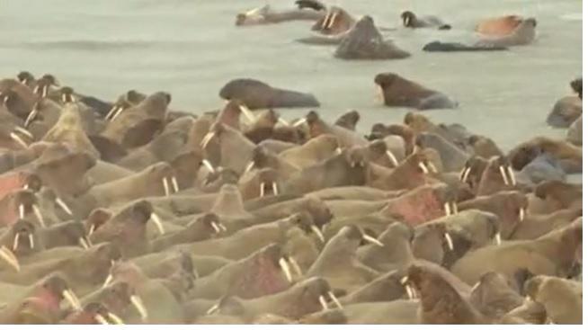 Khoảnh khắc ngoạn mục hơn 3.000 hải mã tụ tập phủ kín bãi biển