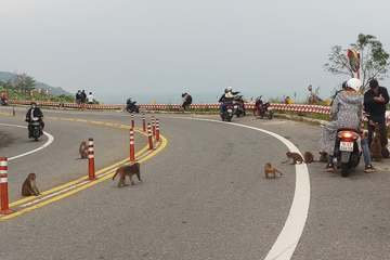 Dụ khỉ xuống đường cho ăn bất chấp lệnh cấm, tưởng hay mà hại cả người và khỉ