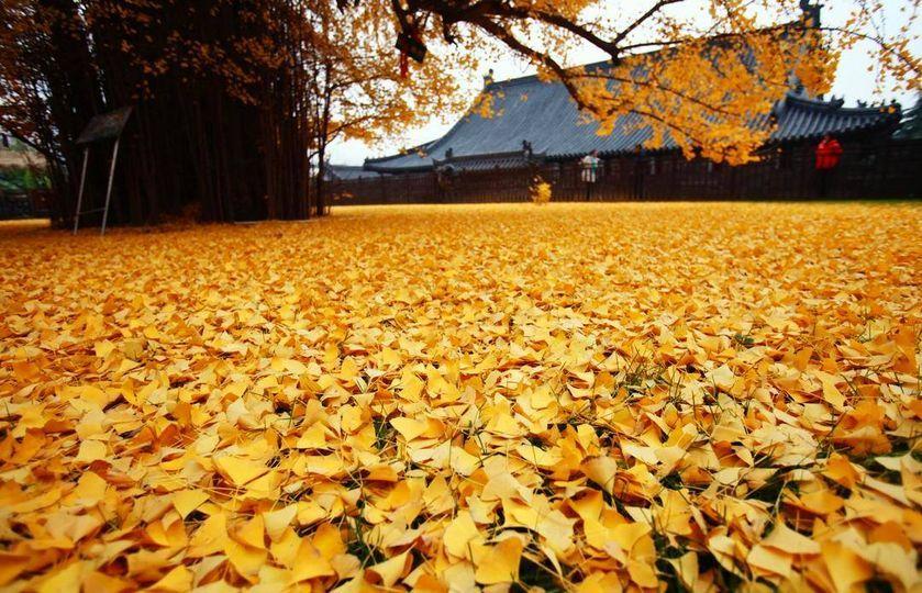 Chiêm ngưỡng cây vàng nghìn năm tuổi đẹp nao lòng ở Trung Quốc