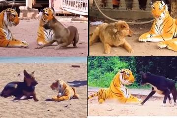 Cười rớt hàm xem những chú chó cưng bị hổ bông dọa 'sợ mất mật'