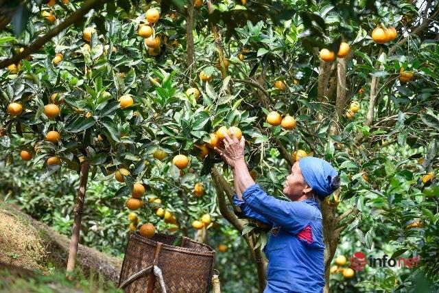 Đưa giống cam nổi tiếng ở Hòa Bình về trồng, dân Cao Sơn 'đổi đời' thu hàng chục triệu đồng