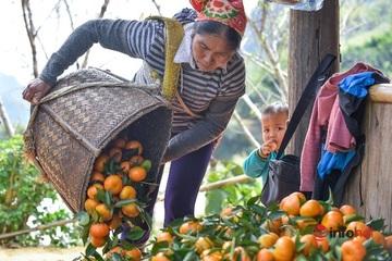 """Đưa giống cam nổi tiếng ở Hòa Bình về trồng, dân Cao Sơn """"đổi đời"""" thu hàng chục triệu đồng"""