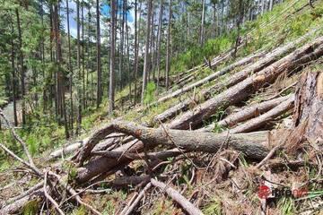 Hàng trăm cây thông cổ bị 'tàn sát' ở Lâm Đồng: Tìm thủ phạm, làm rõ trách nhiệm người quản lý