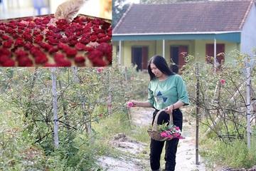 Cô gái xứ Nghệ thu hàng trăm triệu đồng/năm từ vườn hồng cổ