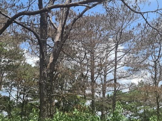Ban thường vụ huyện ủy Đắk Song và Đắk G'long phải chịu trách nhiệm để rừng thông cổ thụ bị tàn phá