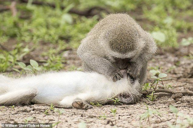 Sự thật về bức ảnh khỉ hô hấp nhân tạo cứu đồng loại bị thương