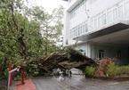 Bão số 13 quét qua, hàng loạt cây xanh trăm tuổi bật gốc; nhà sập đổ, tốc mái