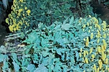 Trộm hoa bị chủ vườn bắt quả tang, bỏ chạy mất dép cùng điện thoại, xe máy
