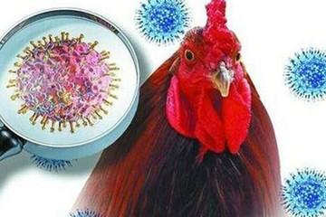 Virus cúm gà lây lan như thế nào?