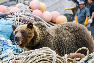 Nhật Bản đau đầu trước nạn gấu dữ tấn công người dân