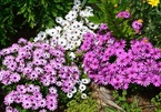 Vườn hoa đẹp tựa thiên đường của mẹ Việt tại Úc