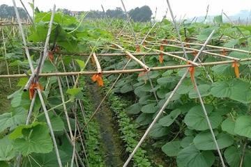 Huyện Việt Yên phát triển nông nghiệp bền vững ứng dụng công nghệ cao
