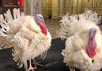 Hai chú gà tây ở trong khách sạn hạng sang chờ ông Trump xá tội