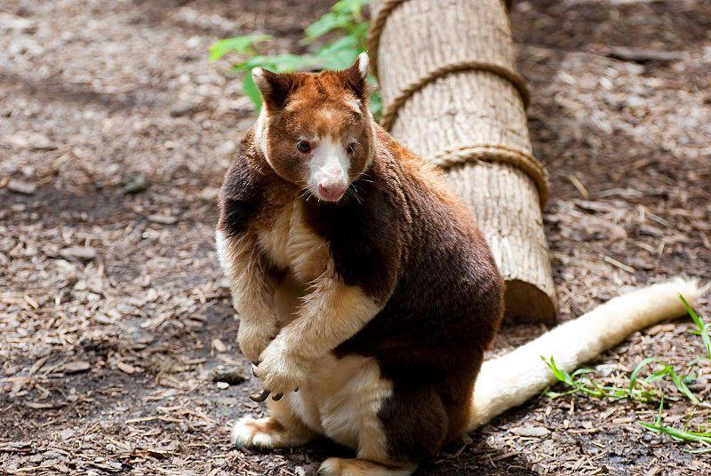 Sinh vật kỳ lạ, 'con lai' giữa kangaroo và vượn cáo