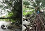 Cầu rễ cây kỳ thú, 'độc nhất vô nhị' ở Indonesia