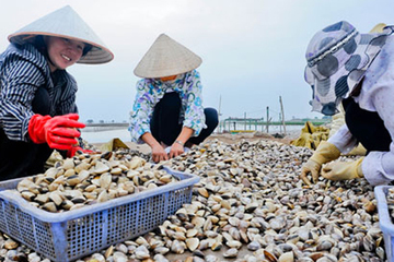 Nông dân Thái Bình thu tiền tỷ từ nuôi ngao