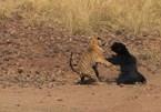 Cuộc chiến tàn khốc giữa hổ bengal và gấu lợn hung dữ ở Ấn Độ